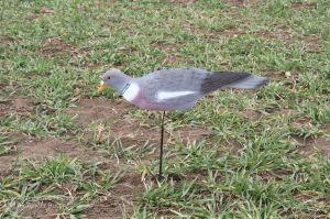 Beflockte Halbschalen Locktaube auf Taubenwackler im Einsatz bei der Lcokjagd auf Tauben