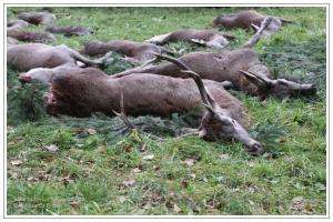 Rothirsch auf Jagdstrecke