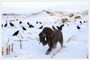 Wachtelhund apportiert erlegte Krähe aus dem Lockbild