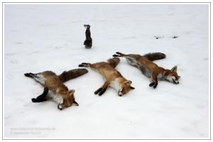 3 Füchse mit dem Wackelhasen