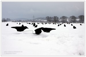 Krähemnagnet auf verschneitem Feld während der Lockjagd auf Rabenkrähe