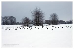 Lockbild und Tarnschirm während der winterlichen Lockjagd auf Rabenkrähen