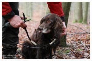 Hundeführer beim Anlegen des Sendehalsbandes an einem deutschen Wachtelhund