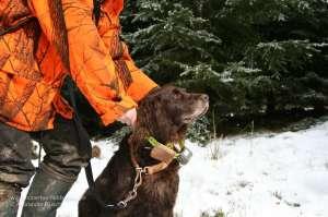 Wachtelhund mit Contact Pro Sendehalsband und GPS Datenlogger