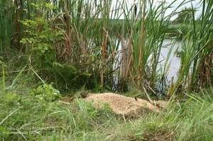 Kirrung an einem Kleingewässer für die Entenjagd