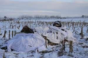 SnowCover auf Hitman Layout Blind beim Einsatz während einer Gänsejagd