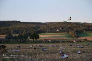 Nilgänse fliegen ein Lockbild aus NRA FUD Nilgans Decoys an