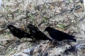 Verschmutzte beflockte Lockkrähen warten auf Ausbesserung für die nächste Lockjagdsaison