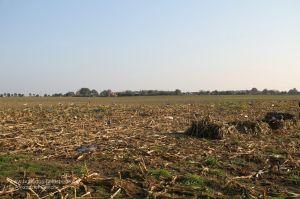 Gänselockbild und Gänseliegen auf Maisstoppel