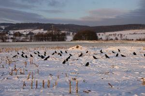Lockbild aus beflockten Lockkrähen auf Maisstoppel im Winter
