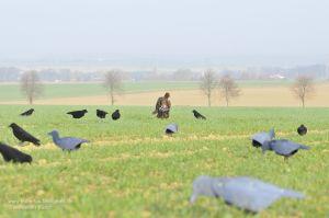 Wachtelhund bringt erlegte Rabenkrähe durch Lockbild aus beflockten Krähen und FUD-Lockvögeln