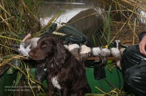 Wachtelhund vor erlegtem Wasserwild im Boot