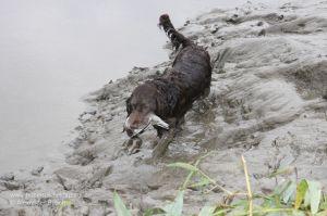 Wachtelhündin bringt Ente durch den Schlamm der Weser