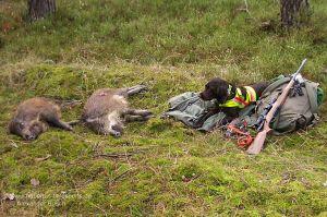 Wachtelhund mit Hundesignalweste neben erlegten Sauen nach Drückjagd