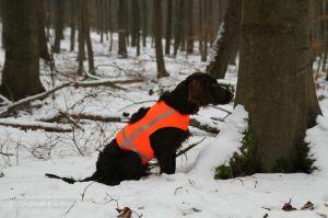 Wachtelhund mit Signalweste Holstein bei winterlicher Drückjagd