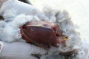 Jäger hält freigelegte Taubenbrust in seinen Händen