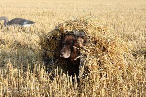 Wachtelhund in Tarnzelt