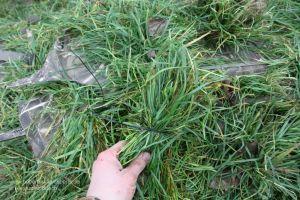 Jäger tarnt Gänseliege mit Gras