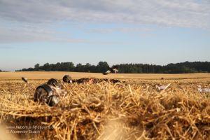 Jäger mit MAX-4 Tarnkleidung in Gänseliegen beobachten einfallende Gänse