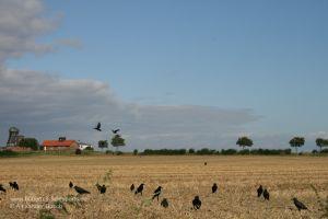 Rabenkrähen fliegen über einen Stoppelacker mit Lockvögeln