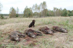 Wachtelhund hinter vier Wildschweinen