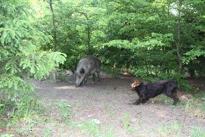 Wachtelhund im Sauengatter