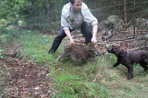 Hundeführer gewöhnt Jagdhund an Schwarzwild