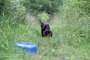 Wachtelhund-Welpe arbeitet Futterschleppe