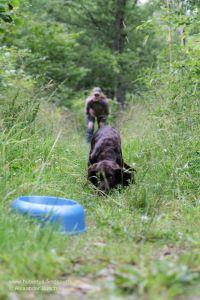 Der Hundeführer übt mit seinem Stöberhund auf der Futterschleppe