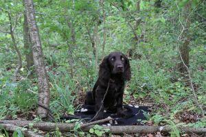 Wachtelhund im Wald