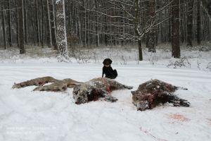 Stöberhund hinter erlegten Wildscheinen und Rehen