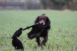 Sicher apportiert der Hund die Krähe - und stört dabei meist die weiterhin anstreichenden schwarzen Gesellen kaum