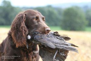 Der wertvolle Helfer mit einer erlegten Krähe im Fang