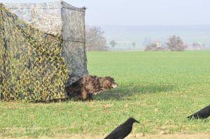 Der Hund startet zum Apport aus dem Tarnstand