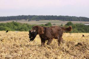 Routiniert apportiert der Jagdhund die erlegte Krähe