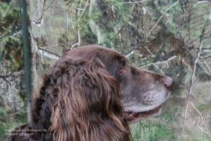 Der Wachtelhund wartet gespannt im Tarnschirm