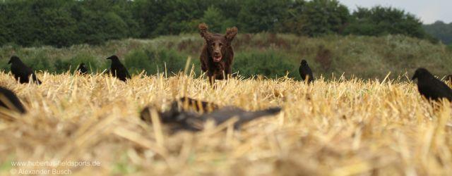 """Auf der Krähenjagd benötigt der Jäger einen brauchbaren Jagdhund. Was dieser """"aus dem Stand heraus"""" leisten muss und wie man es ihm beibringt, zeigt Alexander […]"""