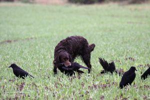 Manche Hunde fassen Krähen recht fest - überträgt er das Verhalten auch auf andere Niederwildarten, muss verbessernd eingegriffen werden