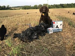 Erfolgreiche Krähenjagd: Jagdhund mit erlegten Krähen